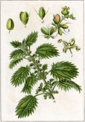 urtica-urens-brenneseljauche